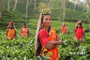 indyjki-na-plantacji-herbaty